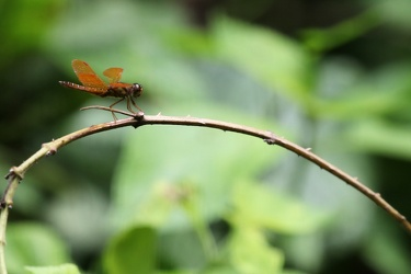 Dragonfly - Perithemis mooma