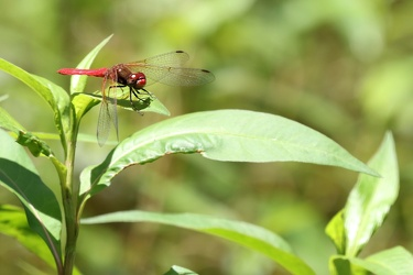 Dragonfly - Sympetrum illotum
