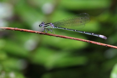 Damselfly - Anisagrion allopterum