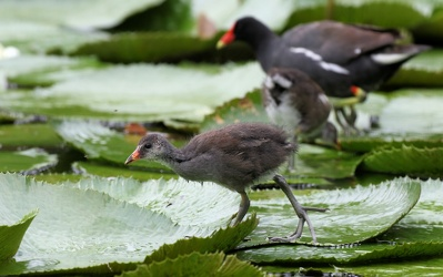 Grønbenet Rørhøne / Common Gallinule